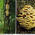 Noms japonais de champignons à aiguillons (5) par rokuya imazeki