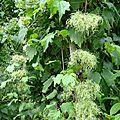Clématite de Virginie en graines