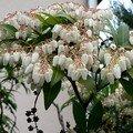 andromède (pieris japonica)