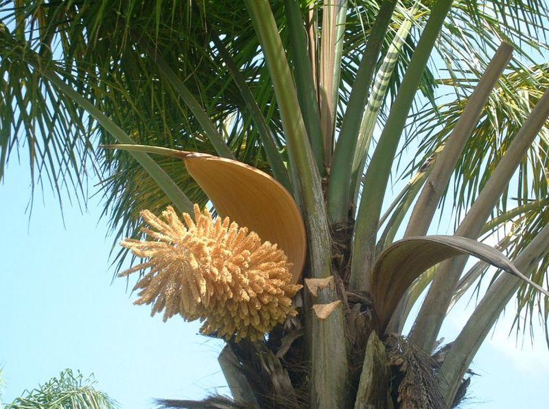fleur de palmier maripa photo de fleurs notre s jour en guyane. Black Bedroom Furniture Sets. Home Design Ideas