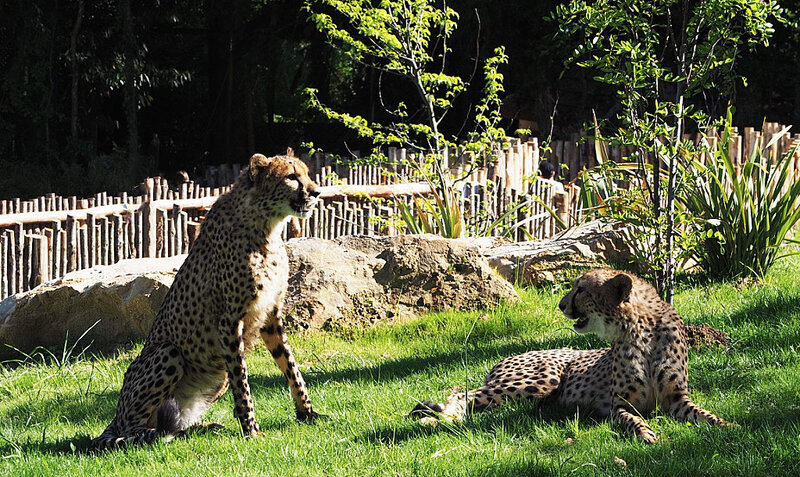 zoo-beauval-animaux-leopard-24