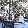 Sri Lanka, l'ïle dont on rêve (7/37). L'<b>arbre</b> <b>Bo</b>, une relique vivante.