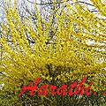 Forsythia bushes started blooming..