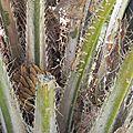 Palmier à