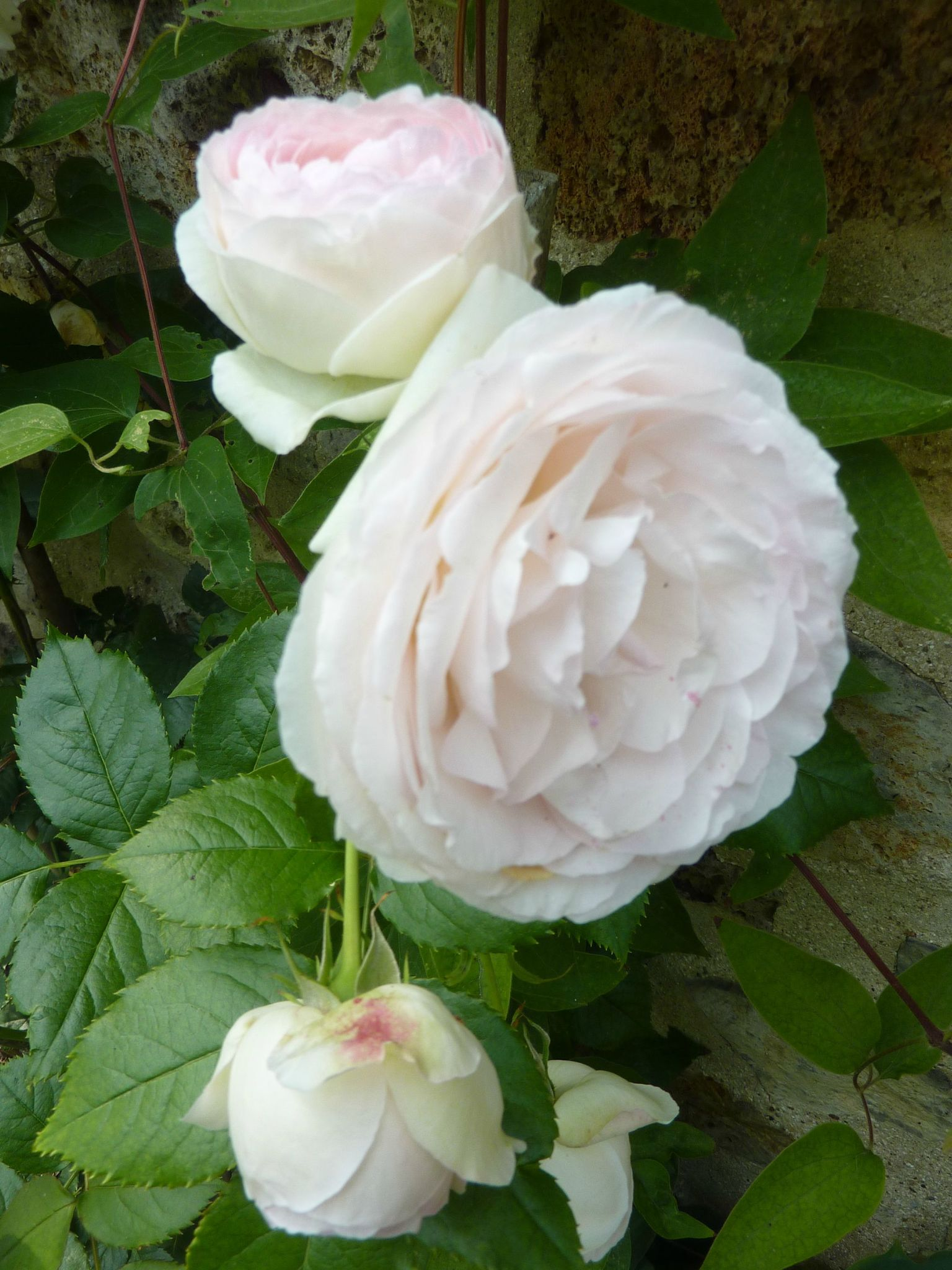 roses anglaises...