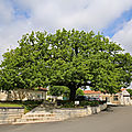 Le <b>chêne</b> de Saint-Même-Les-Carrières, l'arbre de la mairie, (16720, Charente). 10 mai 2019.