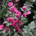 2009 08 03 Fleurs de giroflées