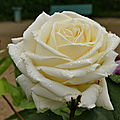 la rose <b>Jeanne</b> <b>Moreau</b>