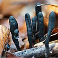 xylaire à long pieds - xylaria longipes (4)