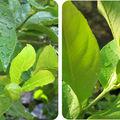 Souvenir d'été # vert comme le citronnier de collioure