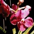 Phalaenopsis, souvenir de Thaïlande