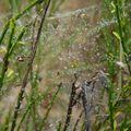 2009 09 21 Toile d'araignée plein de gouttelettes par temps de brouillard (2)