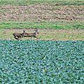 Chasse aux chevreuil - janvier 2012