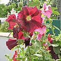 rose trémière (5)