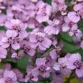 2008 10 11 Zoom sur des fleur d'achillées