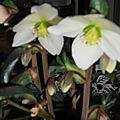 Orchidée ou héllébore......