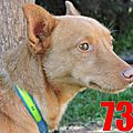 Podenco a l adoption