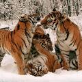le tigre d