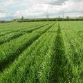 002 Le blé en herbe, en mars
