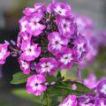 2009 07 29 Phlox en fleur