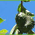 La plante qui combat le cancer ....