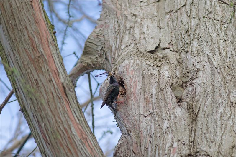oiseau étourneau branchettes technique 1 050418