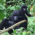 <b>GORILLA</b> TREKKING - CLIMB NYIRAGONGO & VISIT OKAPI;PYGMIES IN D.R.CONGO