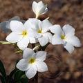 Plumeria alba (frangipanier) - martinique