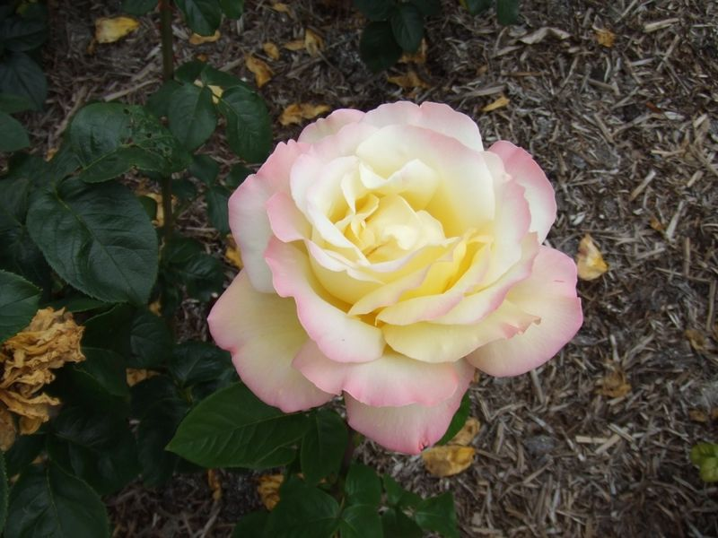 blenheim rose