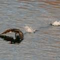 cormoran (le vaincu !!)