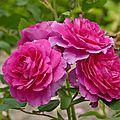 La rose <b>Chapi</b> <b>Chapo</b>