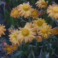 2009 10 19 Chrysanthème d'automne