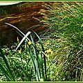 Iris jaunes 2804154