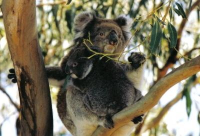 AUSTRALIE - KOALA