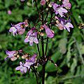 Penstemon digitalis ' joke'