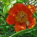 Le printemps rythme la symphonie des <b>tulipes</b>