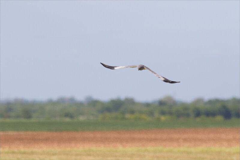 Busard cendré 1 ailes 040518