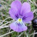 La violette, un brin coquette