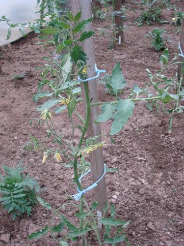 2008 05 28 Un plant de tomate coeur de boeuf