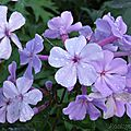 Phlox paniculata ' blue evening'