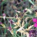 Tipule • Nephrotoma appendiculata • Tipulidae