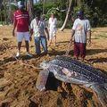 Sauvetage d'une tortue luth