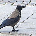 La Corneille mantelée , Corvus cornix