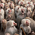 humour babouin