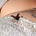 papillon fripon