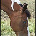 Inuit paint horse américain