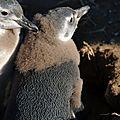 Pingouin de magellan jeune Punta Arenas Isla Magdalena