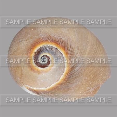 GRAPHIABELLA_SHELLS_ZOOM_02