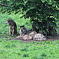 Loup gris d'Europe (Canis <b>lupus</b> <b>lupus</b>)