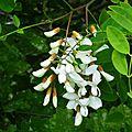 Acacia 0505164